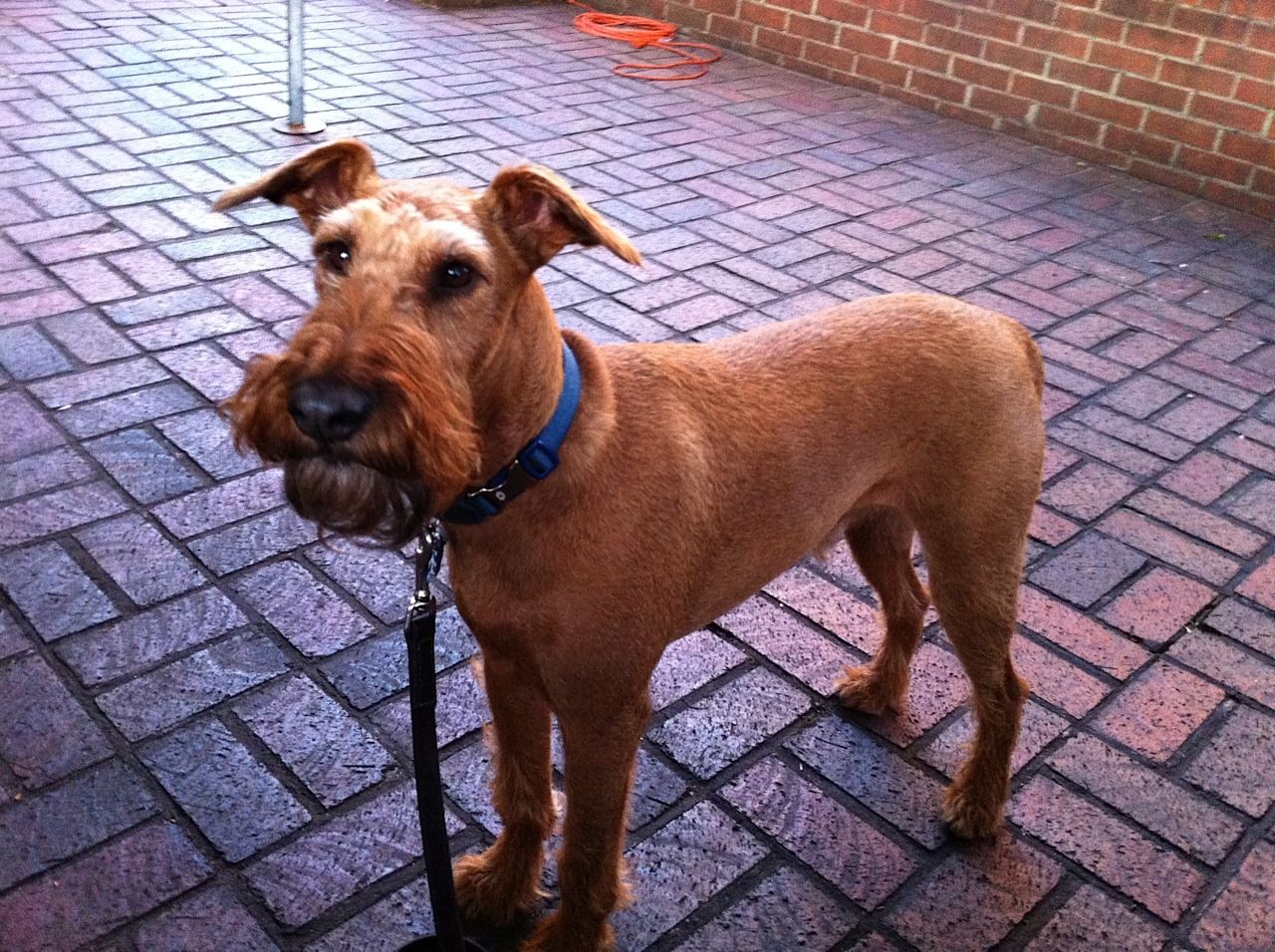 Dog Rescue Irish Terrier