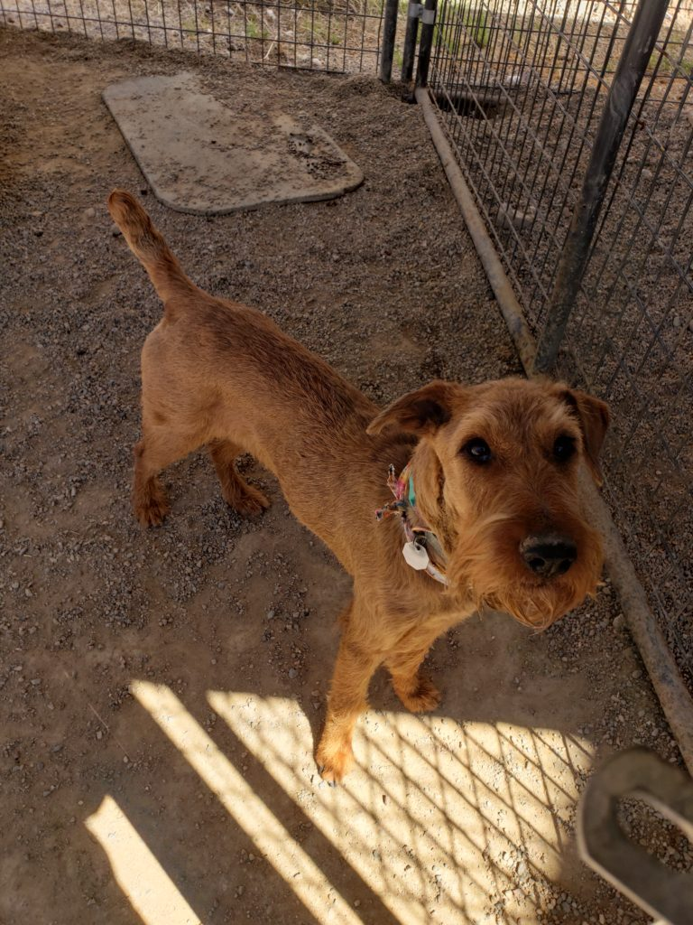 Red and Roja – New Mexico | Irish Terrier Rescue Network